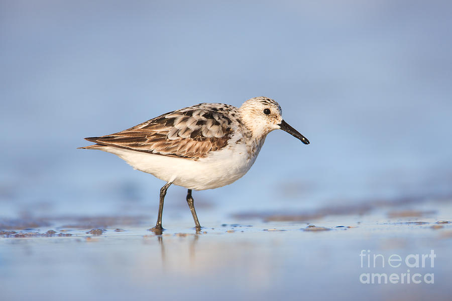 Clarence Holmes Photograph - Sanderling by Clarence Holmes