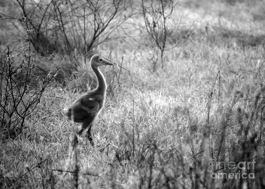 Sandhill Chick In The Marsh - Black And White Photograph