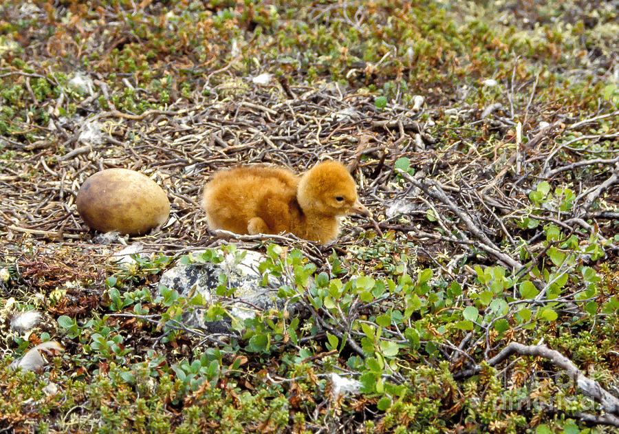 Sandhill Crane Chick Photograph
