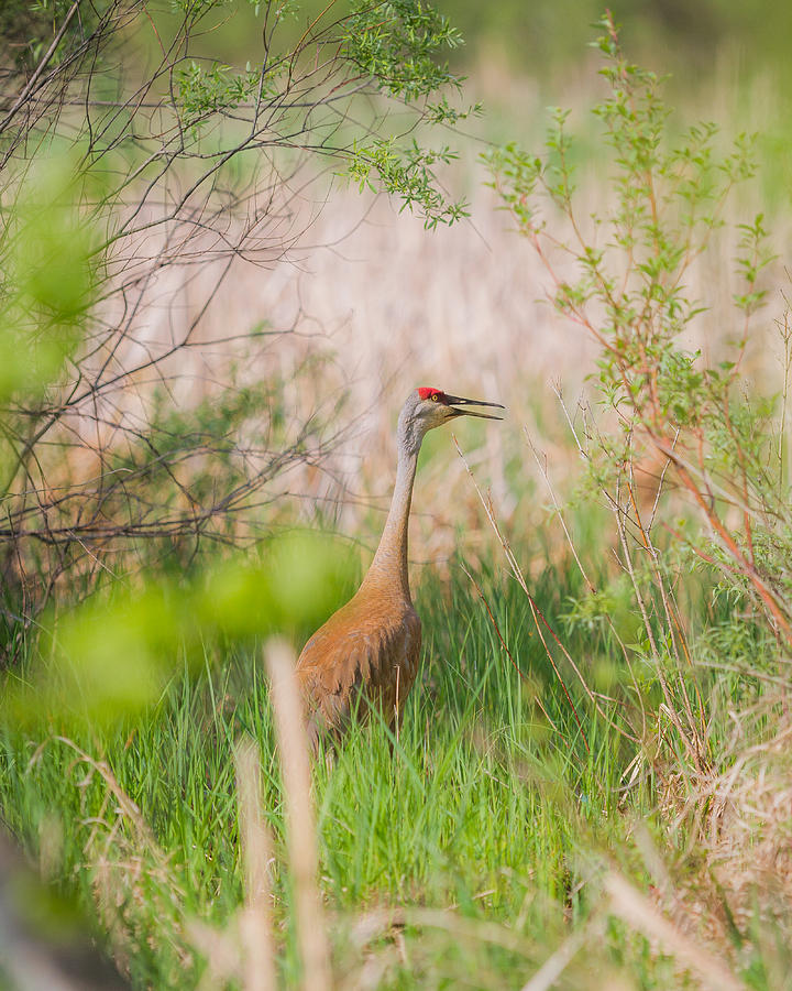 Sandhill Crane Photograph