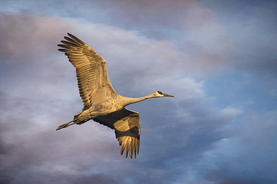 Sandhill Crane Photograph - Sandhill Crane In Flight by Priscilla Burgers