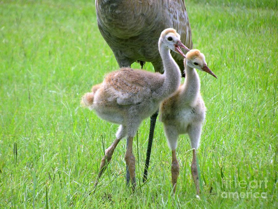 Sandhill Cranes Playing Photograph  - Sandhill Cranes Playing Fine Art Print