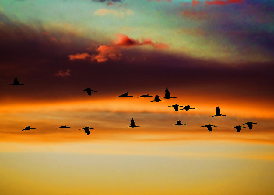 Sandhill Cranes Take The Sunset Flight - Greeting Card Photograph