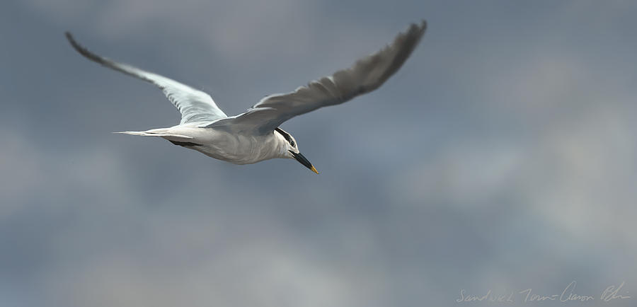 Sandwich Tern Digital Art  - Sandwich Tern Fine Art Print