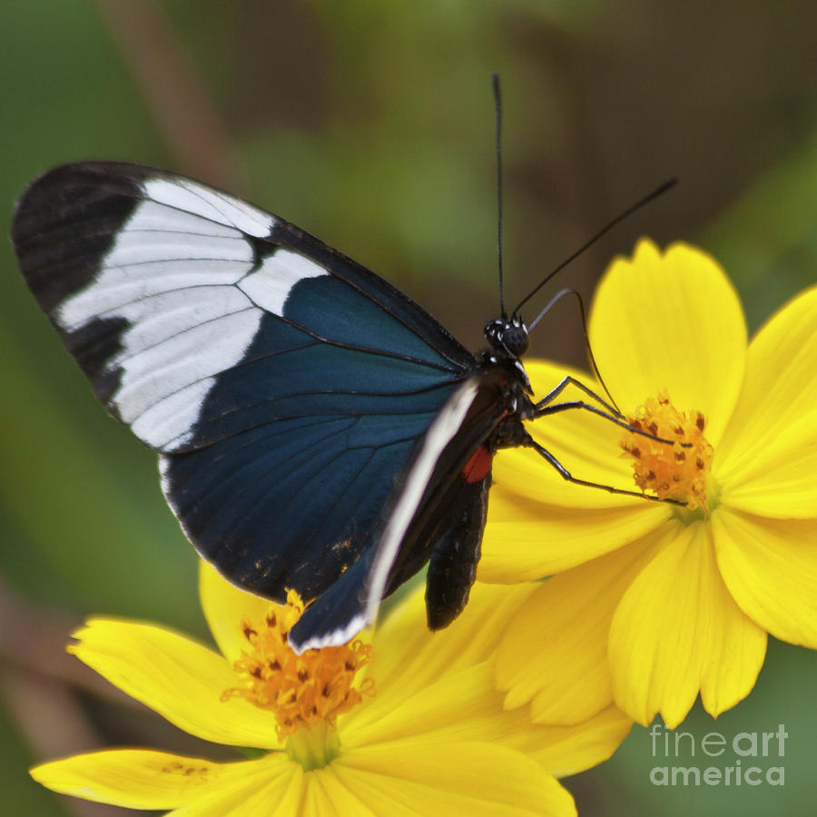 Sapho Longwing Yellow Oriented Photograph  - Sapho Longwing Yellow Oriented Fine Art Print