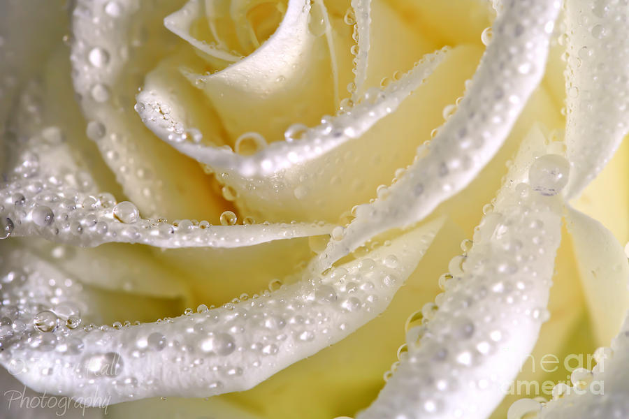 Satin Rose Photograph