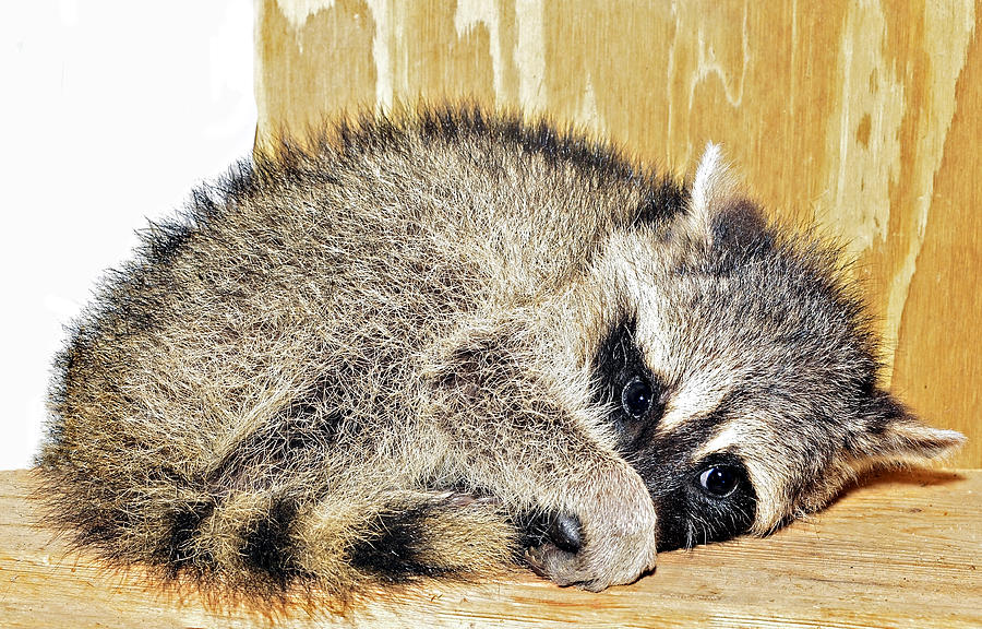 Scared Raccoon Photograph