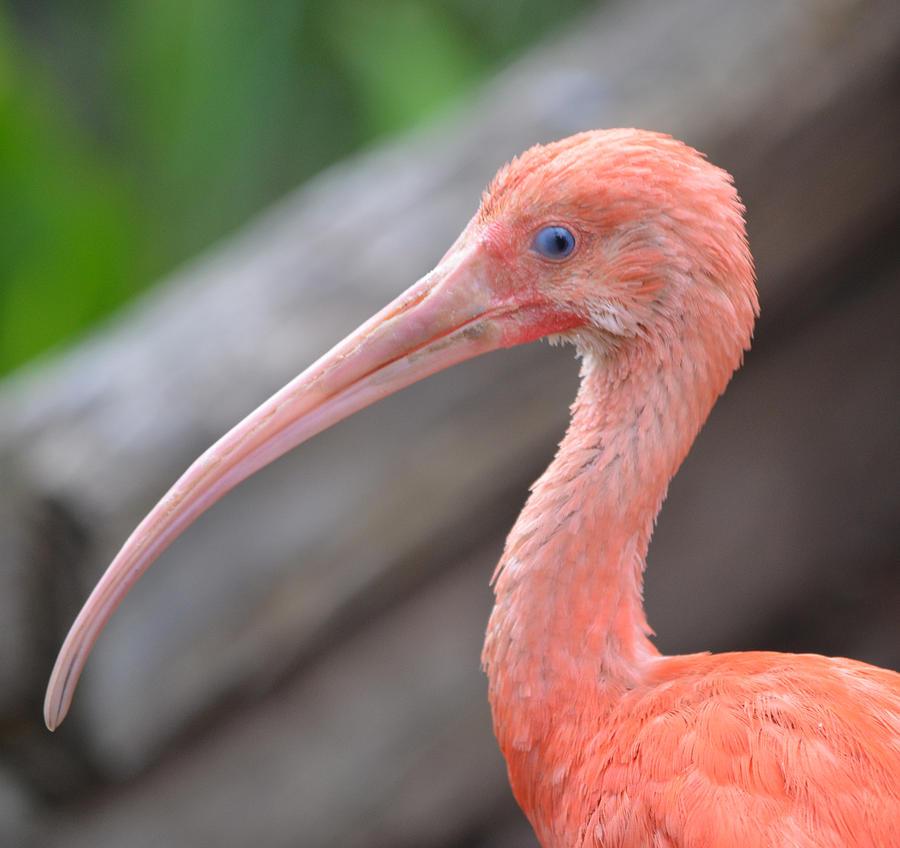 Scarlet Ibis 1 Photograph