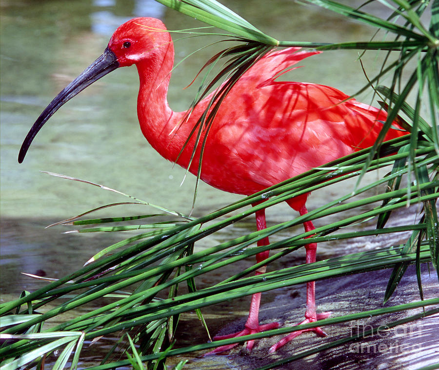 Scarlet Ibis Photograph