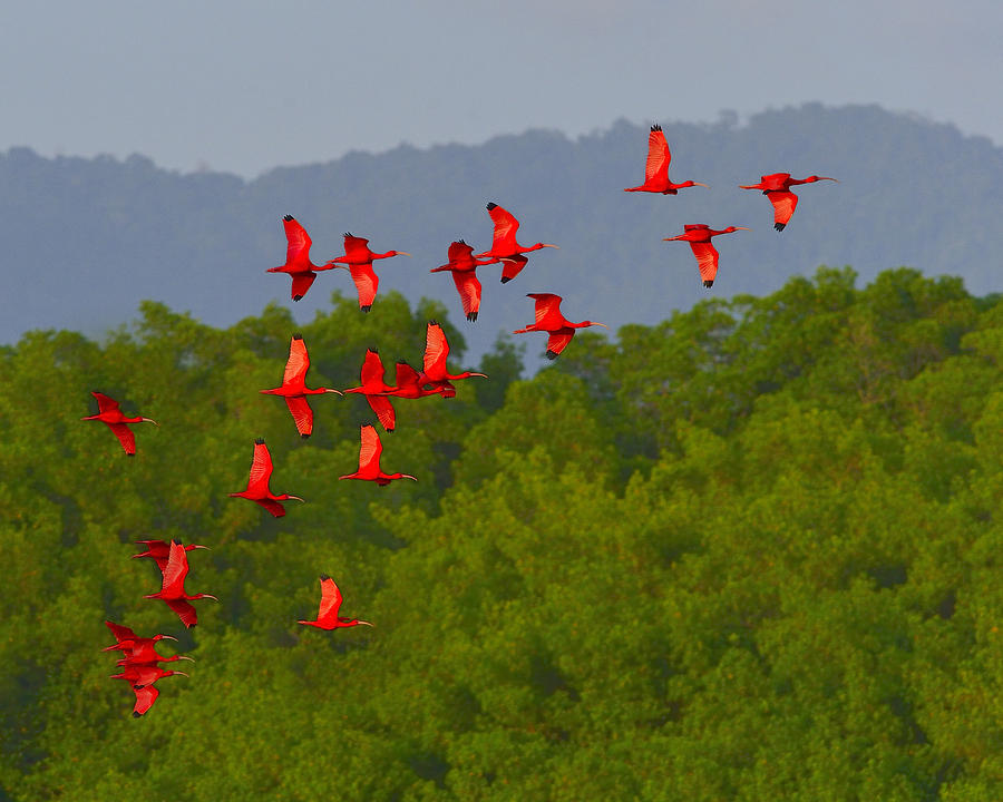 Scarlet Ibis Photograph - Scarlet Ibis by Tony Beck