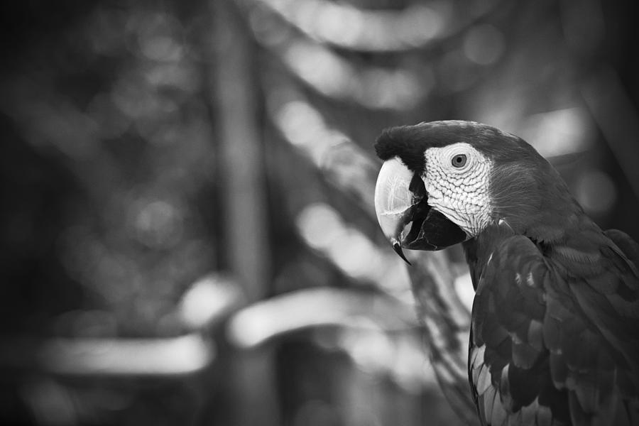 Scarlet Macaw At Sunset Black And White Photograph