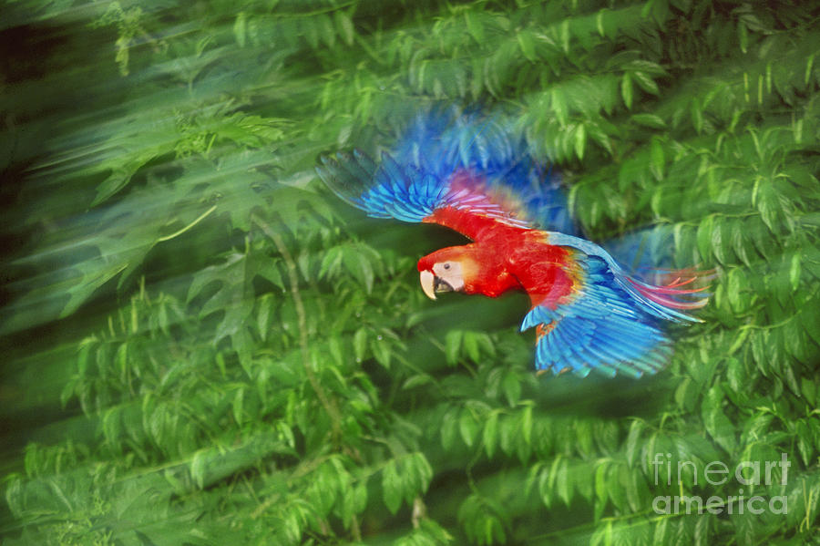 Flying Photograph - Scarlet Macaw Juvenile In Flight by Frans Lanting MINT Images