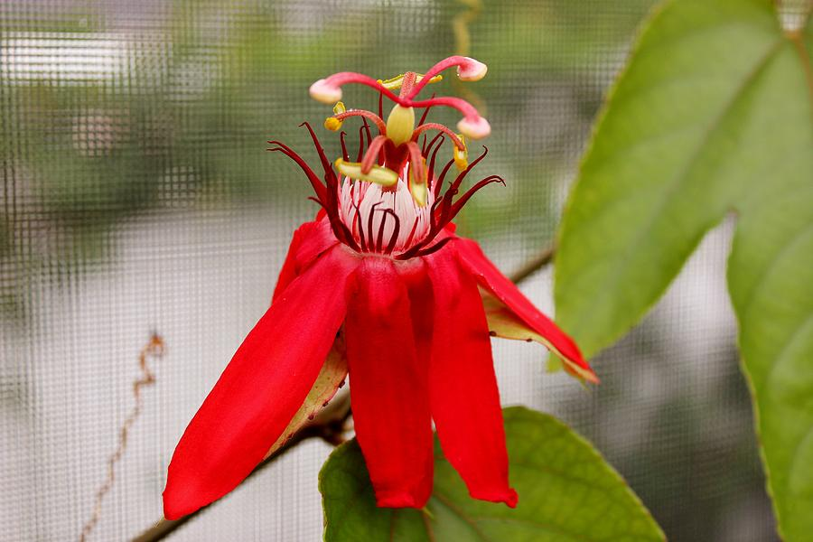 Scarlet Passion Flower Photograph  - Scarlet Passion Flower Fine Art Print