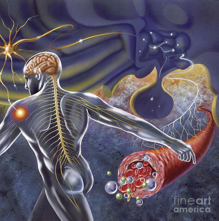 Schematic Of The Hypothalamus Receiving Digital Art