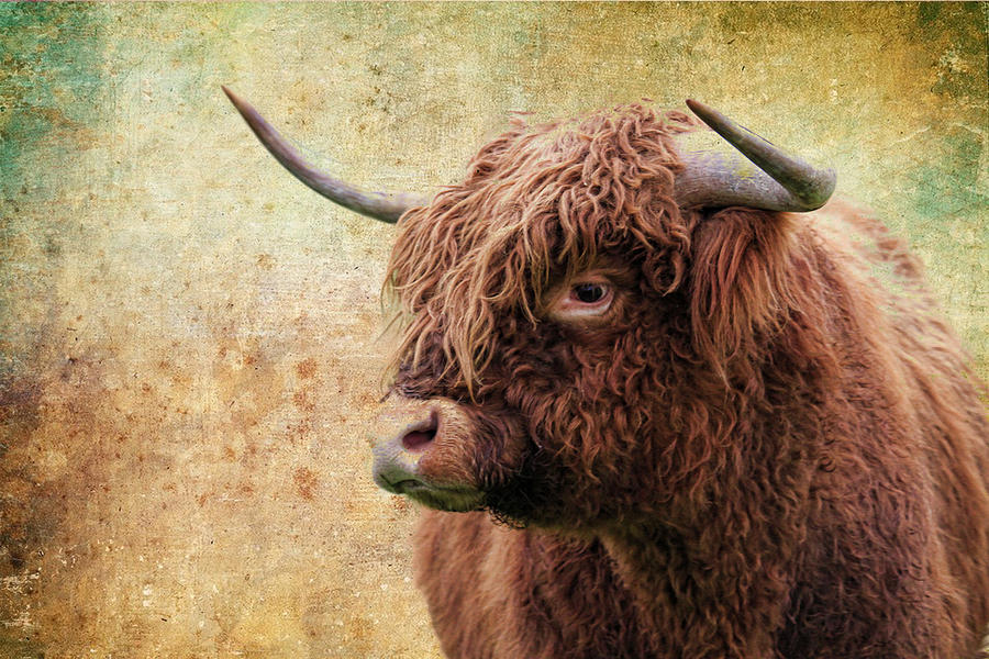 Scottish Highland Steer Photograph