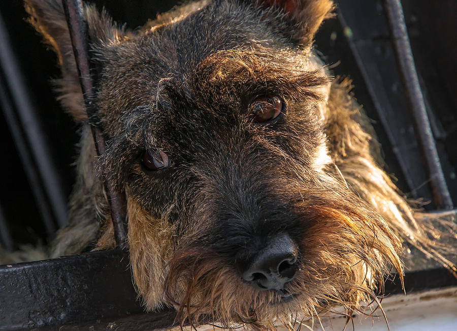 Scottish Terrier Closeup Photograph  - Scottish Terrier Closeup Fine Art Print