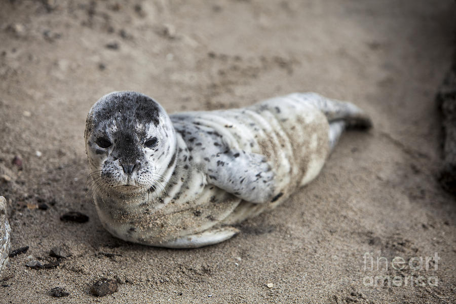 Baby Seal Photographs Photograph - Seal Baby by David Millenheft