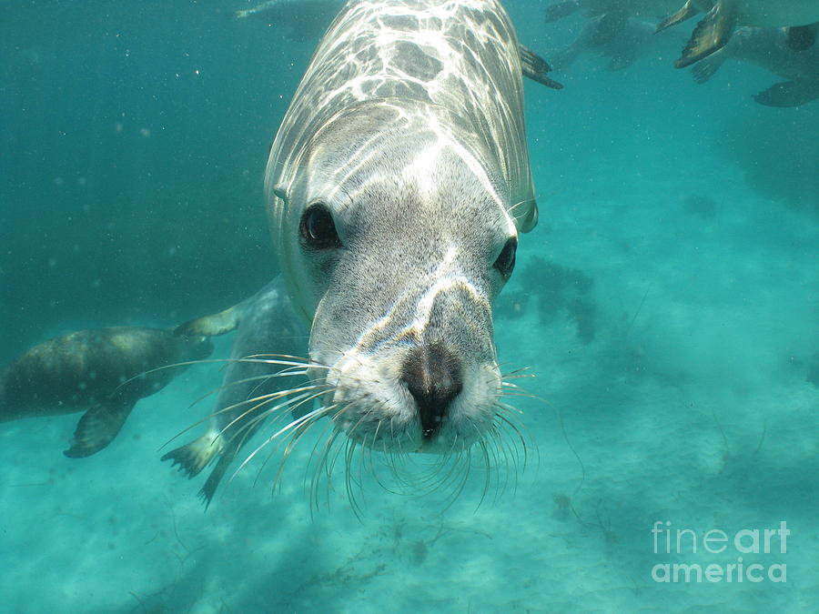Sea Lion Photograph  - Sea Lion Fine Art Print