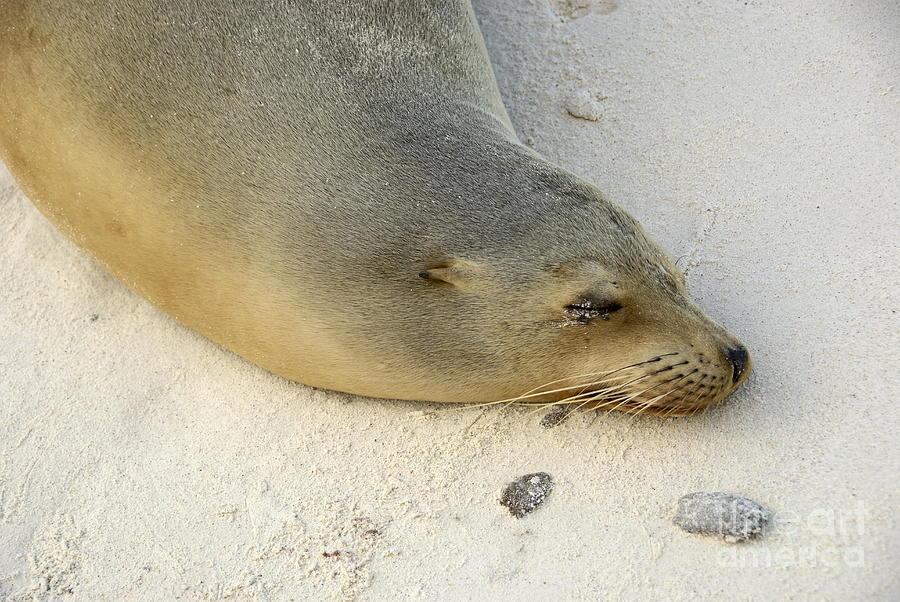 Sea Lion Sleeping On Beach Photograph