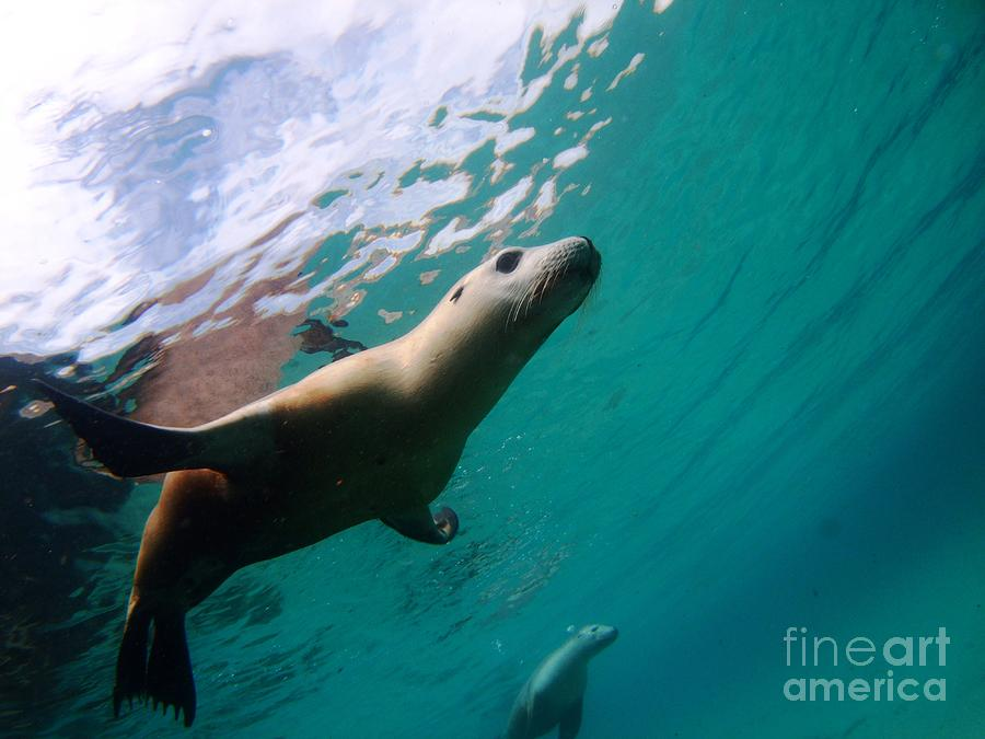 Sea Lion Under Lights Photograph  - Sea Lion Under Lights Fine Art Print