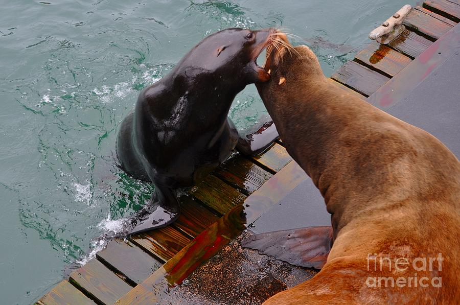 Sea Lion Vs Seal is a photograph by Mandy Judson which was uploaded on ...