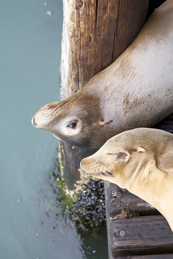 Sea Lions Photograph - Sea Lions by Ashley Balkan