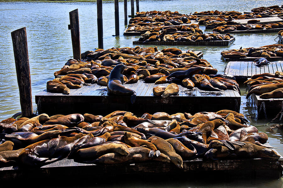 Sea Lions Animal Mammal Sea Life Rest Resting Photograph - Sea Lions At Pier 39  by Garry Gay