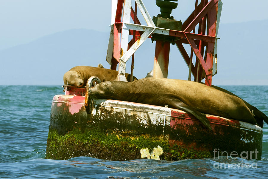 Sea Lions Floating On A Buoy In The Pacific Ocean In Dana Point Harbor Photograph  - Sea Lions Floating On A Buoy In The Pacific Ocean In Dana Point Harbor Fine Art Print