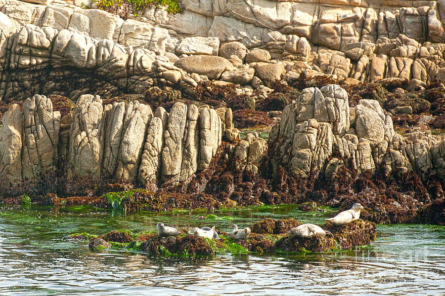 Sea Lions In Monterey Bay Photograph - Sea Lions In Monterey Bay by Artist and Photographer Laura Wrede