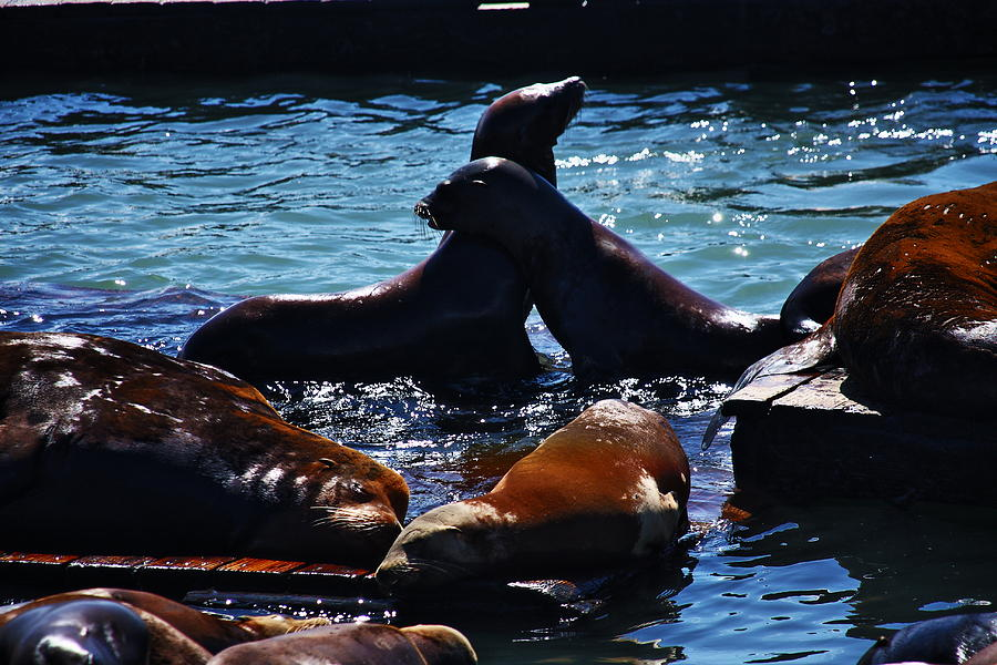 Sea Lions In San Francisco Bay Photograph  - Sea Lions In San Francisco Bay Fine Art Print