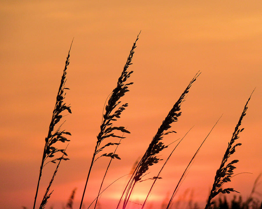 Sea Photograph - Sea Oat Sunset by JC Findley