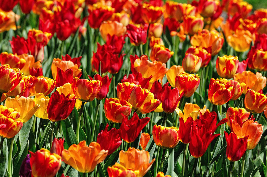 Sea Of Tulips II Photograph  - Sea Of Tulips II Fine Art Print