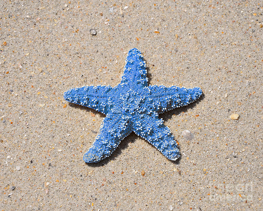 Sea Star - Light Blue Photograph  - Sea Star - Light Blue Fine Art Print