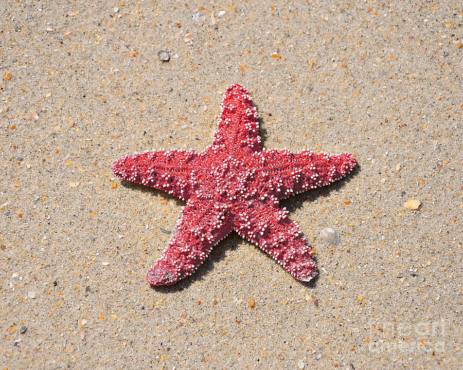 Sea Star - Red Photograph  - Sea Star - Red Fine Art Print