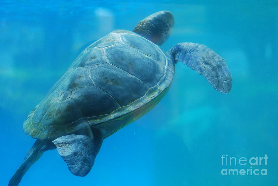 Sea Turtle Under Water Sculpture  - Sea Turtle Under Water Fine Art Print
