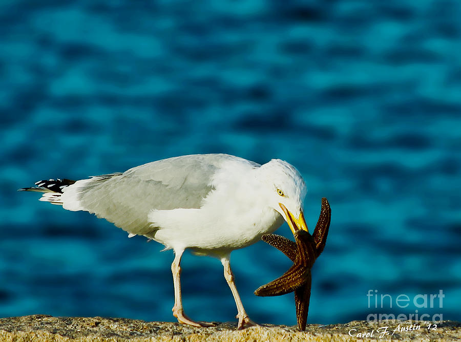 Seagull Dancing With A Star Photograph  - Seagull Dancing With A Star Fine Art Print