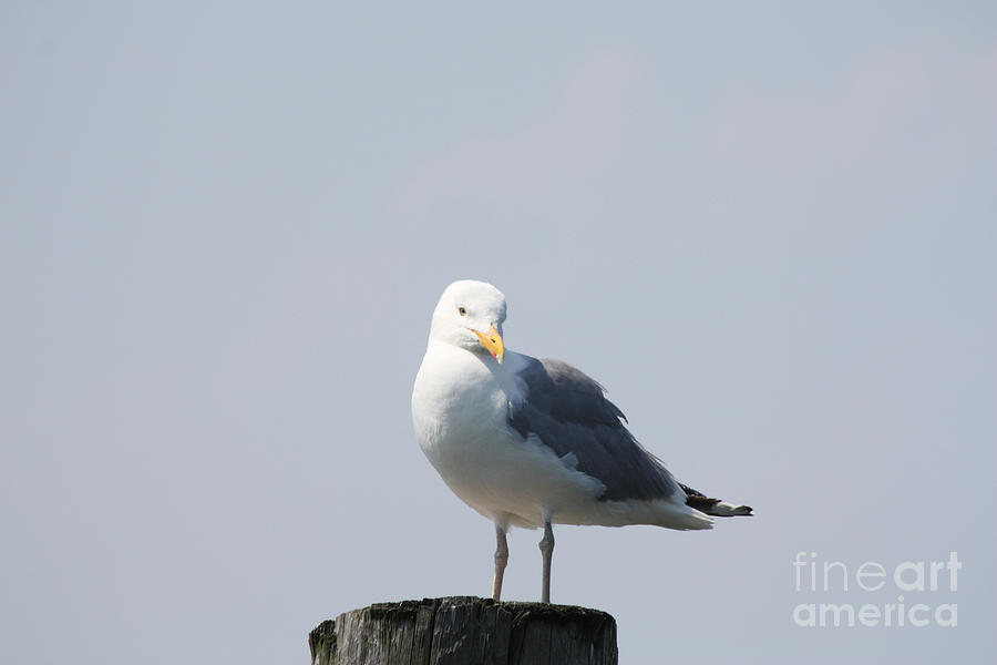 Seagull Looking For Some Food Photograph