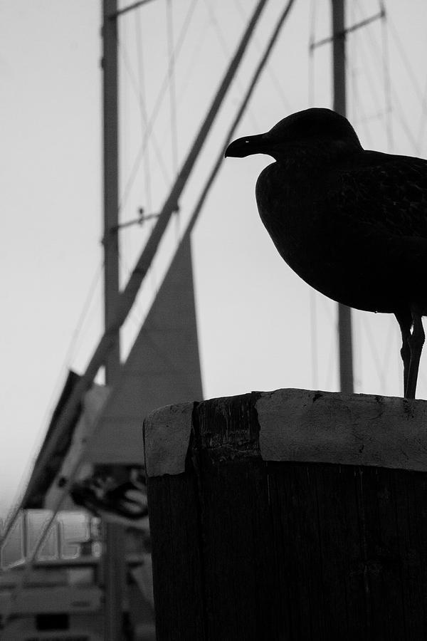 Seagull Silhouette Photograph