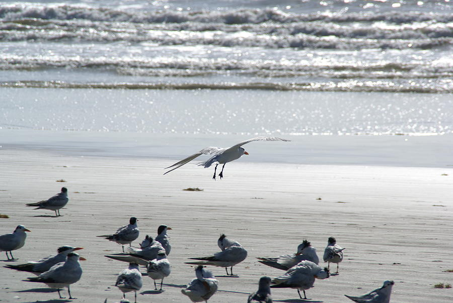 Seagulls By The Seashore Photograph