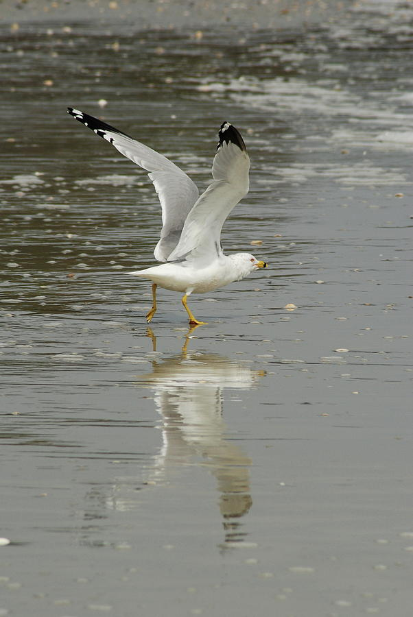 Seagulls Takeoff Photograph