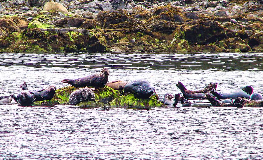 Seals Resting Photograph