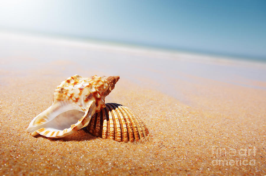 Seashell And Conch Photograph  - Seashell And Conch Fine Art Print