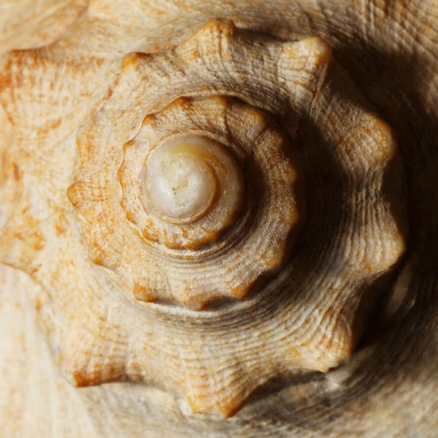 Seashell Macro Abstract Photograph