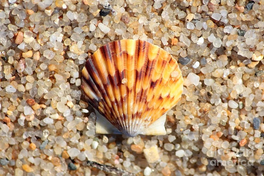 Seashell On Sandy Beach Photograph
