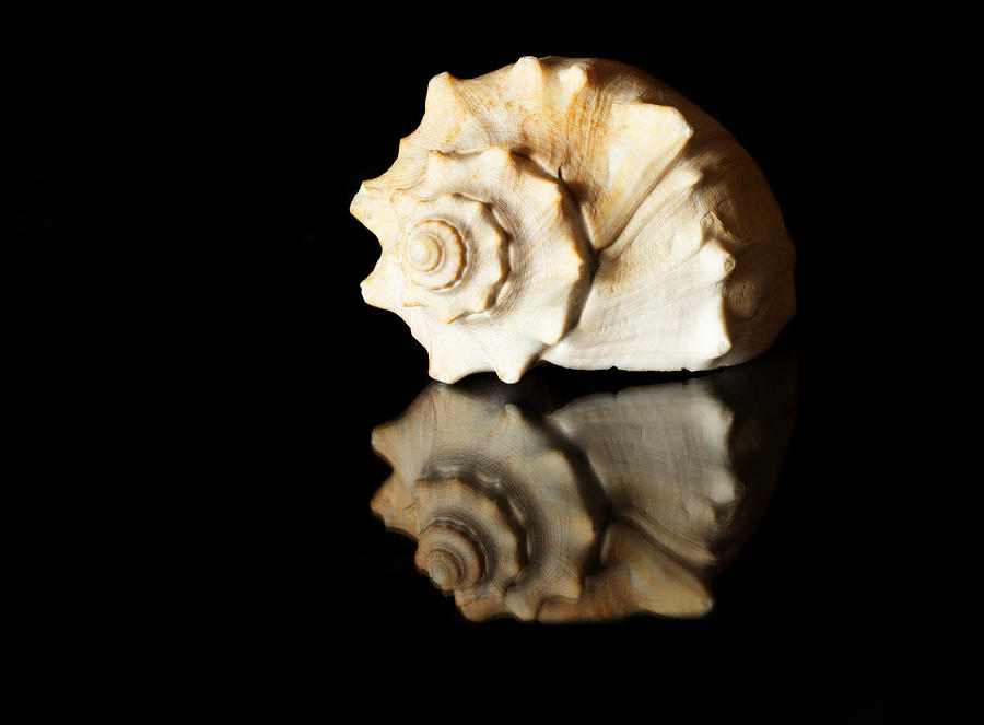 Seashell Photograph  - Seashell Fine Art Print
