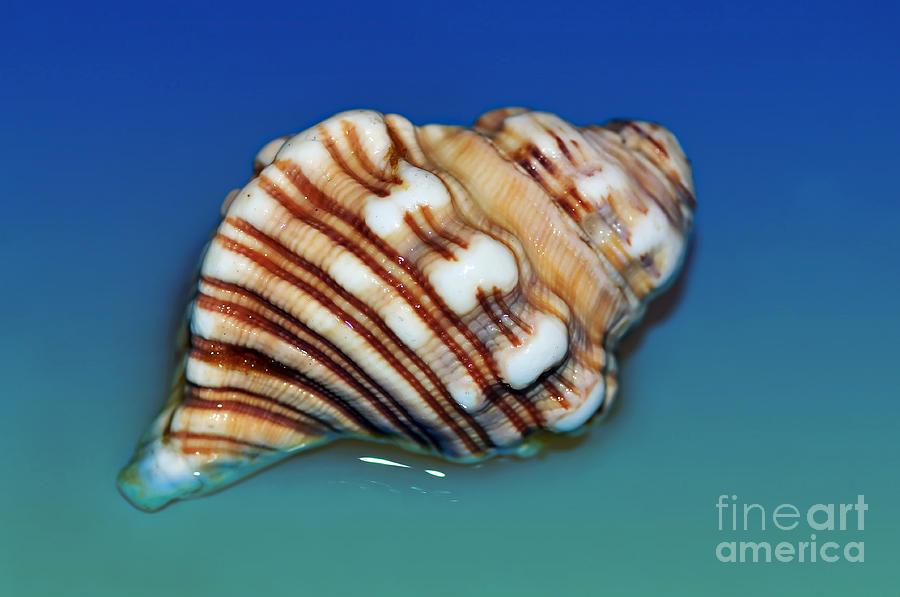 Seashell Wall Art 1 Photograph