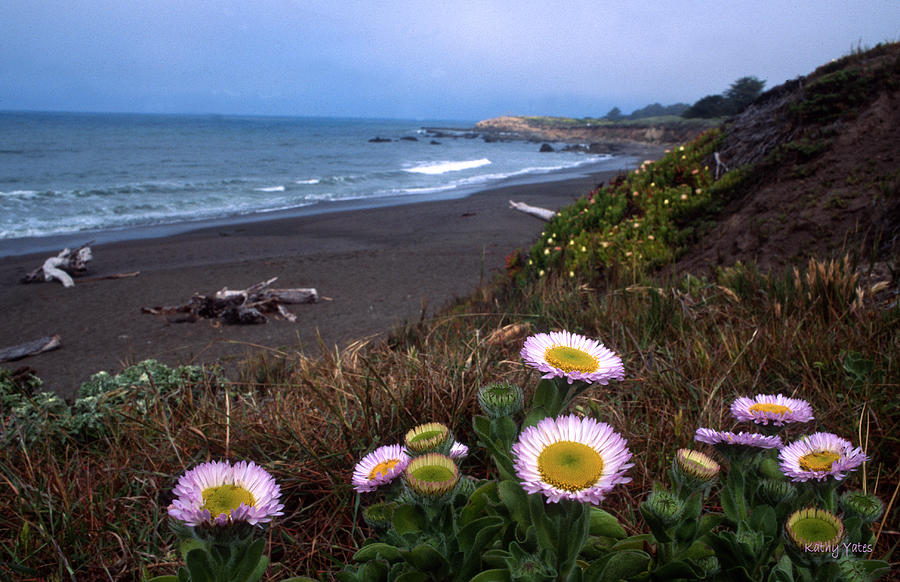 Seaside Daisies On Moonstone Beach Photograph  - Seaside Daisies On Moonstone Beach Fine Art Print