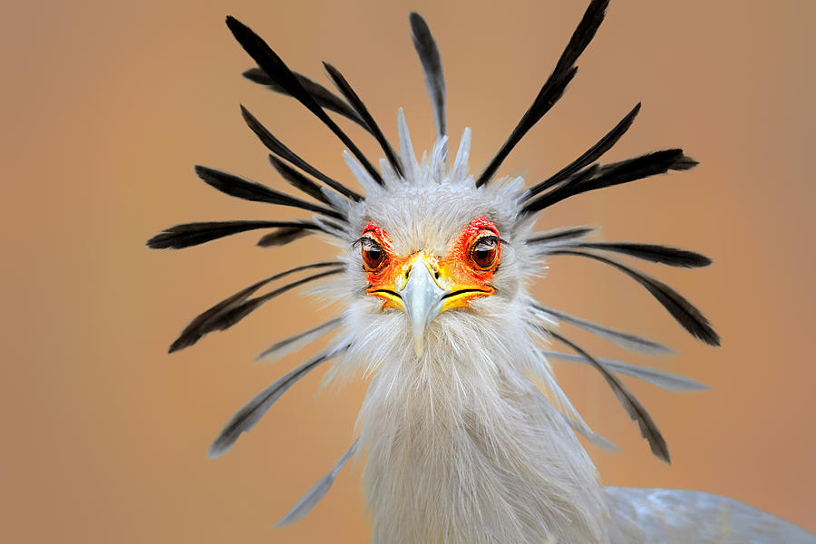 Secretary Bird Portrait Close-up Head Shot Photograph
