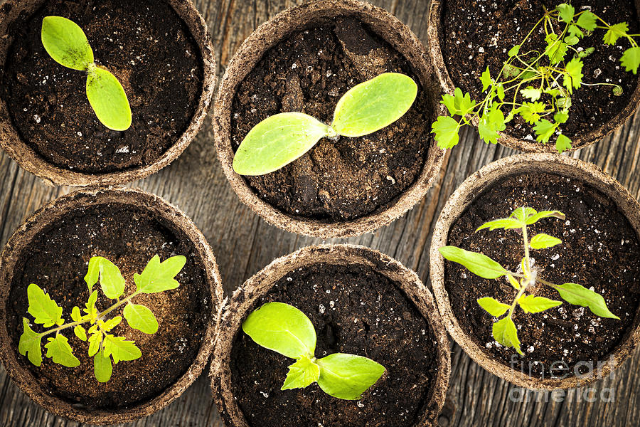 Seedlings Growing In Peat Moss Pots Photograph