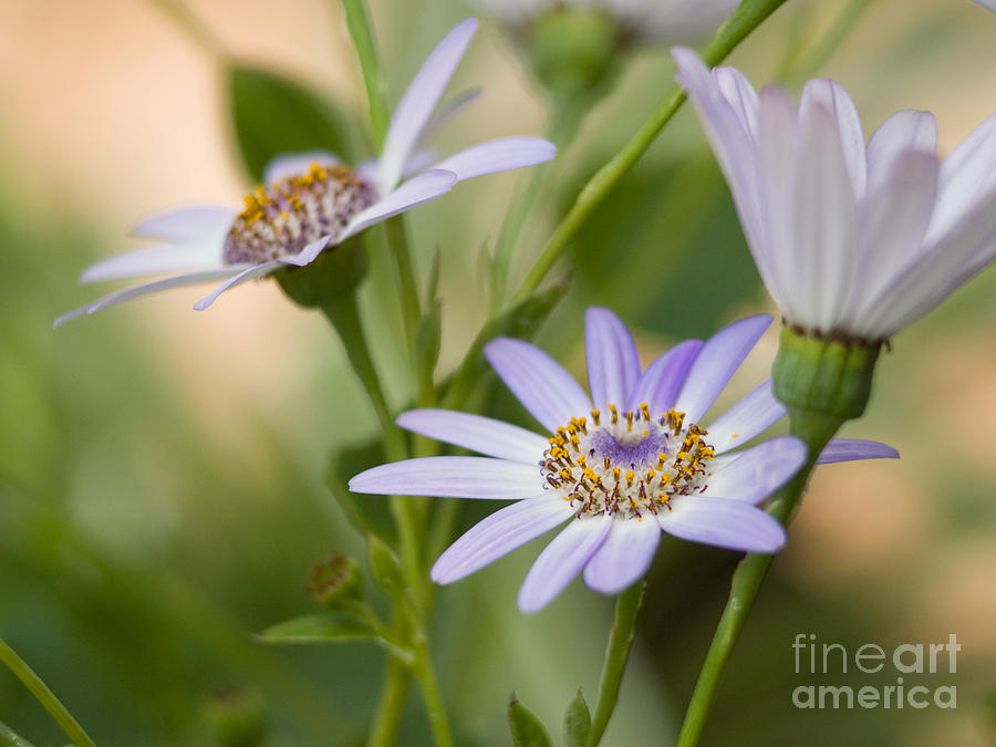 Senetti Flowers On A Cool Spring Day Photograph  - Senetti Flowers On A Cool Spring Day Fine Art Print